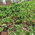 露地栽培のイチゴを収穫しました。の詳細へ
